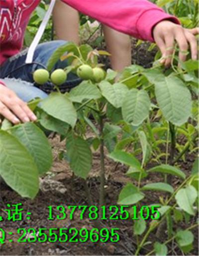 适合种植良种核桃树吗