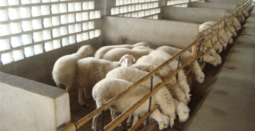 众诚湖羊养殖湖羊成品羊2