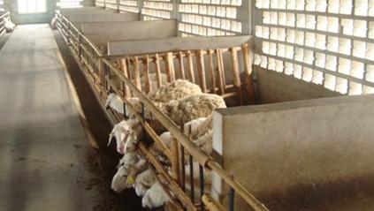 众诚湖羊养殖湖羊成品羊4