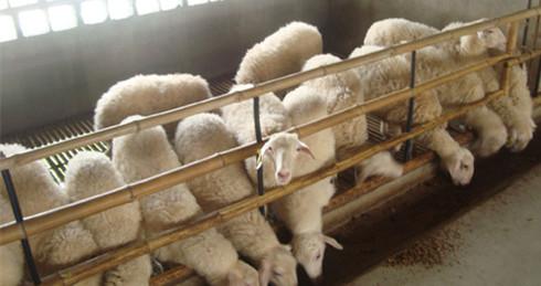 众诚湖羊养殖湖羊成品羊3