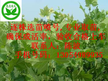 山东菏泽1公分法桐小苗
