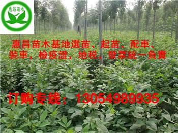 5公分白蜡小苗哪个地区种植的最多