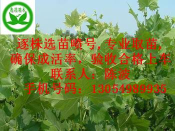 供应法国梧桐|华北地区河南七公分速生法桐