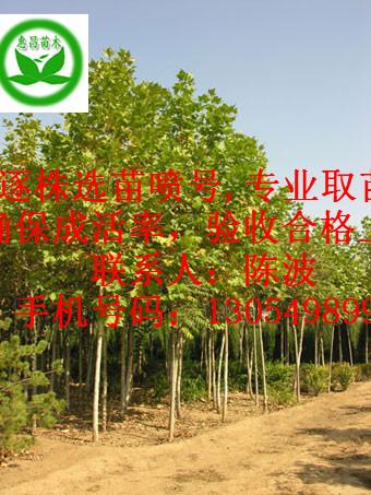 供应法国梧桐|华北地区1,2,4公分法桐