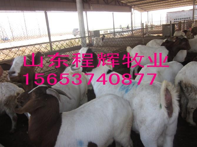 肉牛价格 波尔山羊养殖