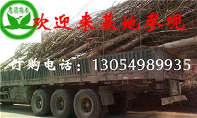 供应法国梧桐广东米径6公分速生法桐