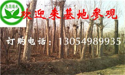 供应法国梧桐江苏胸径5公分6公分速生法桐