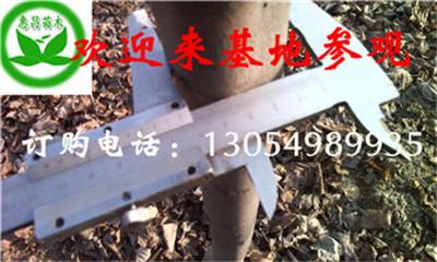 供应法国梧桐江苏胸径6公分7公分速生法桐