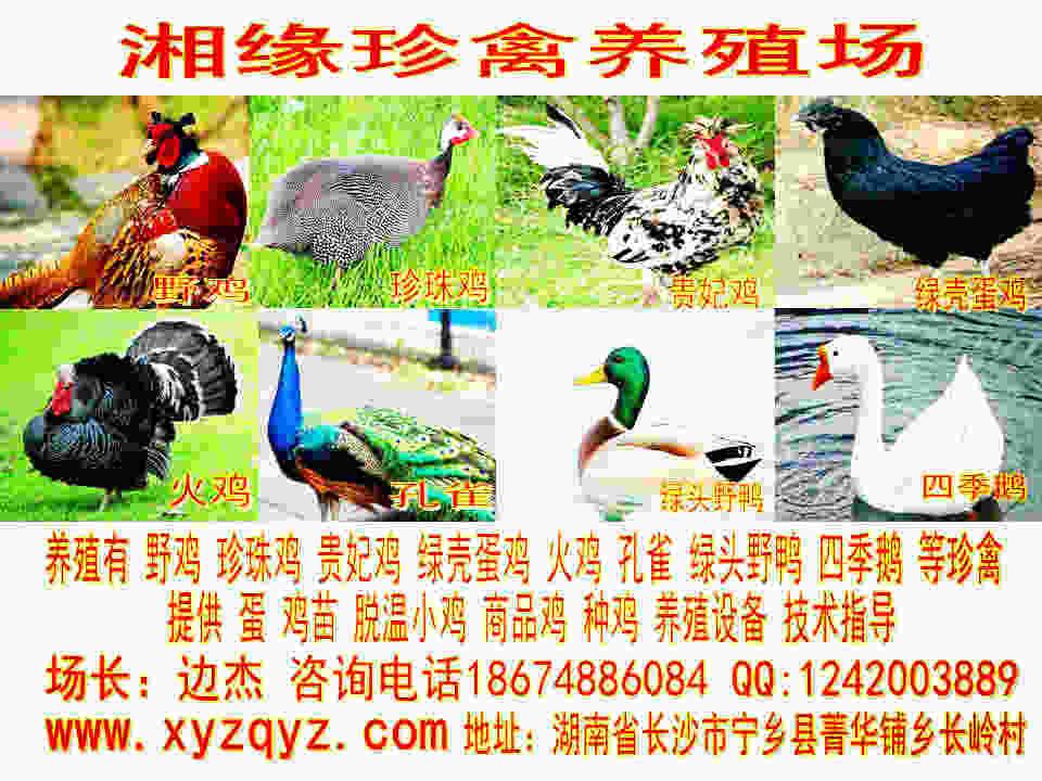 娄底贵妃鸡价格¥贵妃鸡苗¥贵妃鸡养殖技术
