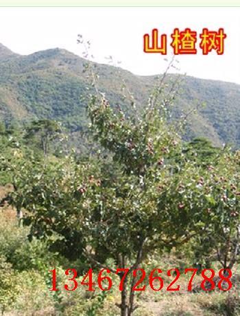 供应胸径1-15公分山楂树/苹果树/山桃树/山杏树/占地枣树