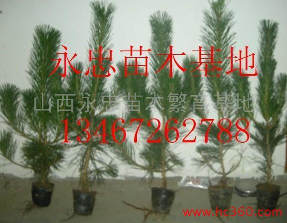 山西永忠苗木繁育基地的形象照片