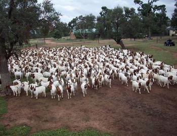 安徽波尔山羊养殖基地