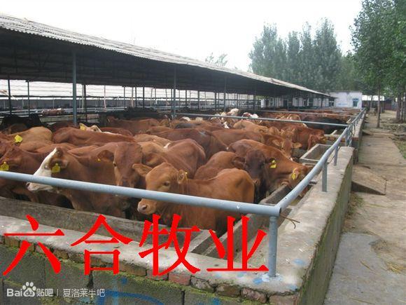 山东鲁西黄牛养殖场 利木赞牛 夏洛莱牛