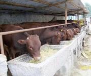 山西省出售肉牛供应牛犊忻州市育肥牛场欢迎你咨询