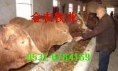 抚州肉牛价格上饶肉牛养殖行情九江肉牛犊育肥