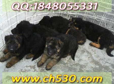 肉狗养殖技术新疆乌恰县狮子头藏獒多少钱一只