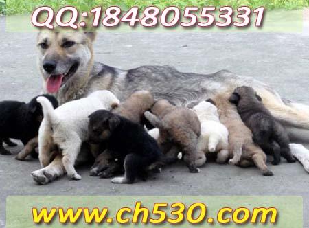 肉狗价格行情贵州省江口县养什么狗利润最大