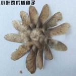 香椿种子多少钱一斤