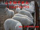 高腿小尾寒羊养殖 肉羊行情利润 养羊技术