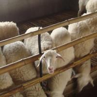 众诚湖羊养殖湖羊成品羊22