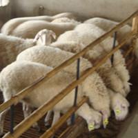 众诚湖羊养殖湖羊成品羊11