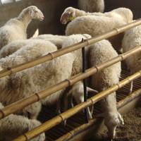 众诚湖羊养殖湖湖羊种羊33