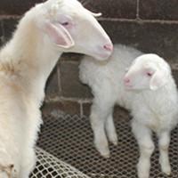 众诚湖羊养殖湖湖羊羊羔44