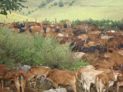 架子牛的快速育肥