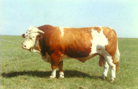 肉牛的粗饲料