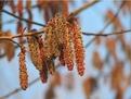 杨树花提取物