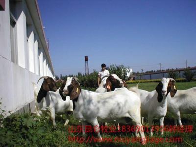 肉羊市场批发价格,杜泊绵羊羊羔波尔山羊小尾寒羊肉羊养殖
