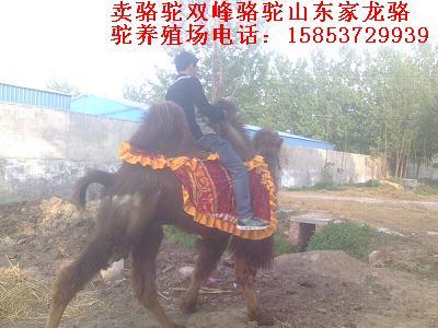 骆驼养殖场 养殖骆驼效益如何 骆驼价格