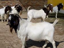 小尾寒羊养殖基地,波尔山羊种羊场