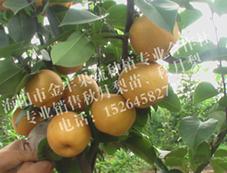 烟台海阳莱阳供应优质秋月梨树苗