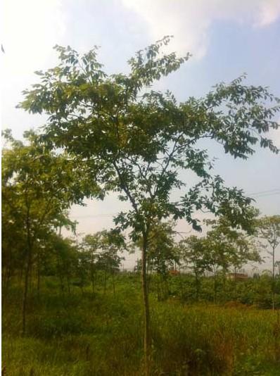 苗木销售产品:水杉