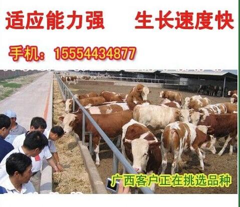 湖南肉牛犊价格湖南大型肉牛养殖场