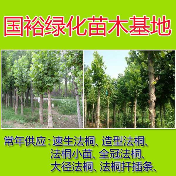 出售3 5 8公分优质法桐小苗法桐扦插棒北京2014最新培训技术