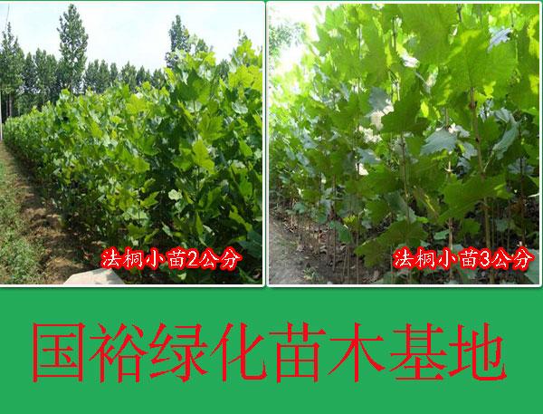 出售1|2|6公分绿化法桐造型法桐|法桐扦插棒河北唐山最新培育基