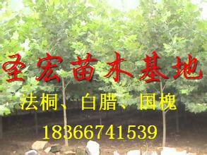 2014供应山东东营3公分法桐价格|5公分法桐树价格