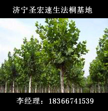 圣宏苗木基地|6公分法桐树报价