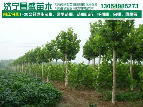 山东济南1~3米高法桐扦插苗最近价格