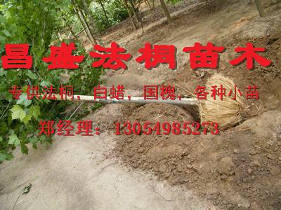 河南开封处理8公分|9公分法桐2014年价格