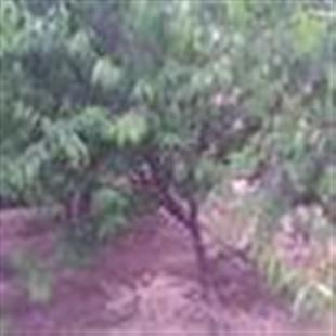 供应核桃树,苹果树,山楂树,柿子树,桃树,杏树,梨树