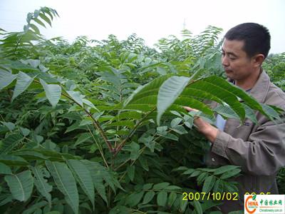 香椿苗种植 当年香椿苗价格