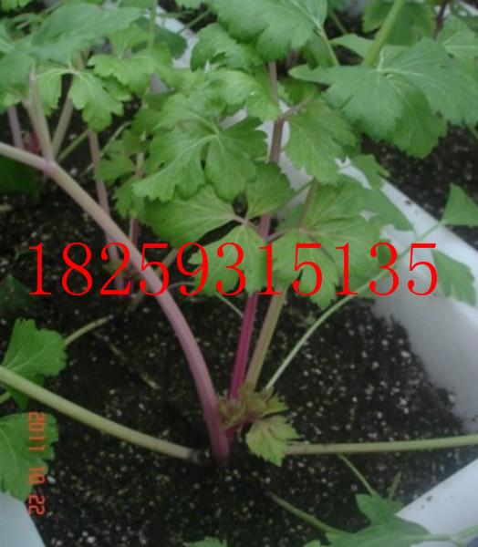 红芹菜种子价格