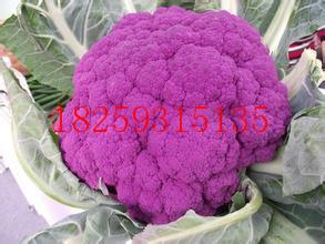 紫花菜种子种植