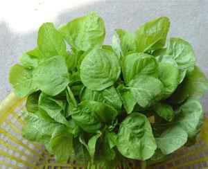 青苋菜种子