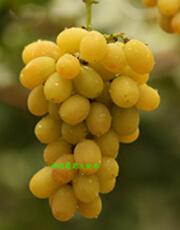 供应神园葡萄金桂香葡萄苗