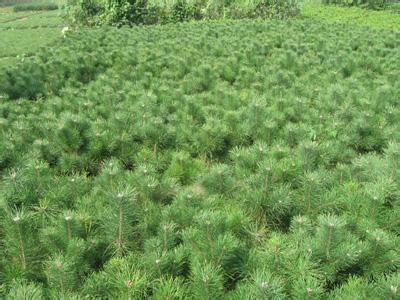 油松山西油松苗价格1米油松1.5米油松