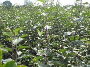苹果苗山西苹果苗价格3-5公分苹果树